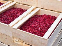 Lingonberry Stock Image
