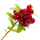 Lingonberry imagenes de archivo