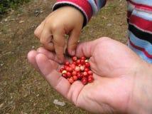 Lingonberry στοκ φωτογραφίες