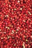 Lingonberry Στοκ εικόνες με δικαίωμα ελεύθερης χρήσης