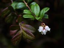 Lingonberry Στοκ Φωτογραφία