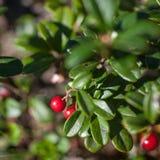 Lingonberry Fotografia Stock Libera da Diritti