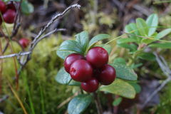 Lingonberry stock foto