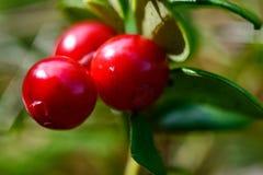 Lingonberry Fotografia Stock