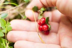 Lingonberry antioxidante, comida sana de la baya del oto?o fotos de archivo