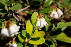 Lingonberry blossoms on summer sun. A close up of a blossoming lingonberry Vaccinium vitis-idaea on a Finnish swamp in the summer sunlight Stock Photo