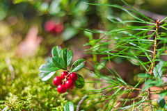 Lingonberry branch in the forest Royalty Free Stock Image