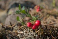 Lingonberry bush Stock Photos