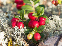 Lingonberry close up Stock Image