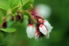 Lingonberry (cowberry) in bloom with water drops on its flower. White flowers Stock Photo