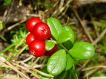 Lingonberry or Cowberry Plant. Growing in the wild Royalty Free Stock Images