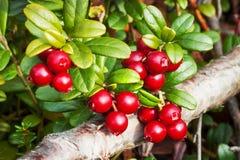 Lingonberry de las bayas (vitis-idaea del Vaccinium), finales de agosto imagen de archivo libre de regalías