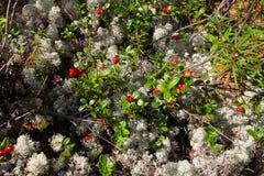 Lingonberry do musgo e das bagas Imagens de Stock