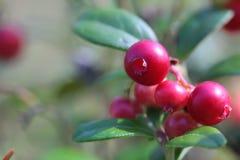 Lingonberry em um arbusto nas madeiras imagem de stock royalty free