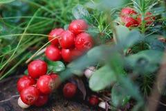 Lingonberry en el bosque Imágenes de archivo libres de regalías