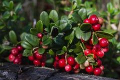 Lingonberry en una rama en el bosque Imagen de archivo libre de regalías