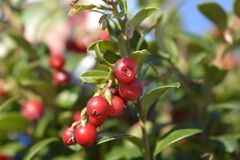 Free Lingonberry Fireballs Royalty Free Stock Images - 208277059