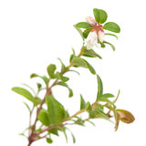 Lingonberry; Stock Photo