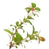 Lingonberry; Stock Photo