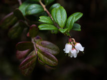 Lingonberry. Flowers against dark background Stock Photography