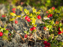Lingonberry in the forest Stock Photo