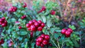 Lingonberry fresco vermelho, airela imagens de stock