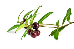 Lingonberry with leaves Royalty Free Stock Photo