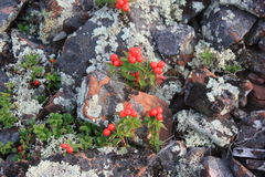 Lingonberry op de rotsen royalty-vrije stock foto