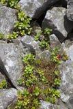 Lingonberry ou airela Imagens de Stock Royalty Free