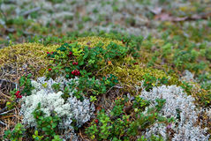 Lingonberry plants Royalty Free Stock Image