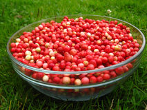 Lingonberry after purification on a glass bowl Royalty Free Stock Photo