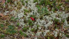 Red bilberry among moss of yagel. Lingonberry, red berry cranberry among moss jagel, camera in motion close-up stock footage