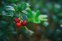 LINGONBERRY. Red forest fruits on a bush Stock Photography