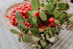 Lingonberry rosso nella flora euroasiatica dell'uva di monte della foresta, lingonberry della foresta fotografie stock libere da diritti