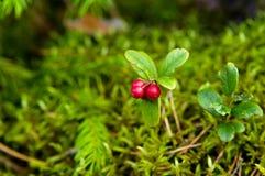Lingonberry selvagem (airela) Imagens de Stock Royalty Free