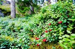 Lingonberry selvagem fresco na floresta Fotografia de Stock