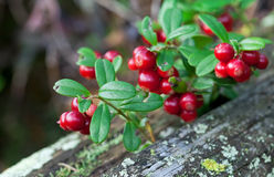 Lingonberry shrub with berries Royalty Free Stock Photo