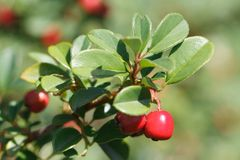 Lingonberry shrub with red berries outdoors horizontal Royalty Free Stock Image