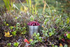Lingonberry in steel cup in a forest Royalty Free Stock Photos