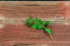 Lingonberry twig Stock Photos