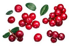 Lingonberry vaccinium vitis, ścieżki, wierzchołek Zdjęcia Stock