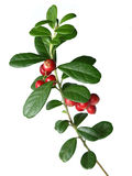 Lingonberry (Vaccinium vitis-idaea ) Royalty Free Stock Photos