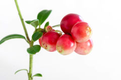 Lingonberry. Vaccinium vitis-idaea isolated on white background. Close up Stock Photography