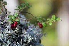Lingonberry Royalty Free Stock Images