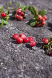 Lingonberry Vaccinium vitis-idaea Royalty Free Stock Image
