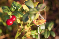Lingonberry vermelho imagens de stock royalty free
