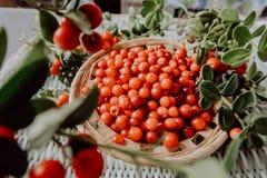 Lingonberry vermelho na flora euro-asiática da airela da floresta, lingonberry da floresta imagem de stock