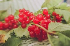 Lingonberry vermelho na flora euro-asiática da airela da floresta, lingonberry da floresta imagem de stock royalty free