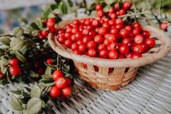 Lingonberry vermelho na flora euro-asiática da airela da floresta, lingonberry da floresta foto de stock royalty free