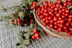 Lingonberry vermelho na flora euro-asiática da airela da floresta, lingonberry da floresta fotos de stock
